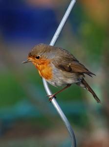 Ilokseni pihapiiriin ilmestyi punarinta, joka päästää jopa yllättävän lähelle. Tässä kuvassa ei ole se, vaan ehkä sen kaukainen sukulainen. Kuva: Wikimedia Commons.