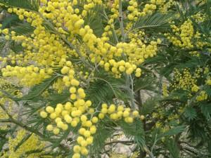 Esimerkiksi Italiassa mimosa kukkii tavallisesti juuri sopivasti maaliskuun alussa. Mimosa on oikeaoppisin  naistenpäivän kukka. Kuva: Alberto Salguero  Quiles / Wikimedia Commons.
