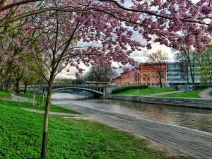 Turku 7: Kirsikkapuut kukoistavat Turun Aurajoen rannassa.