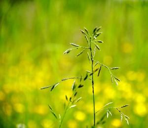 """Heinäkuun kunniaksi kuva nimeltä """"heinä""""! (Kuva: smerikal / Flickr)"""