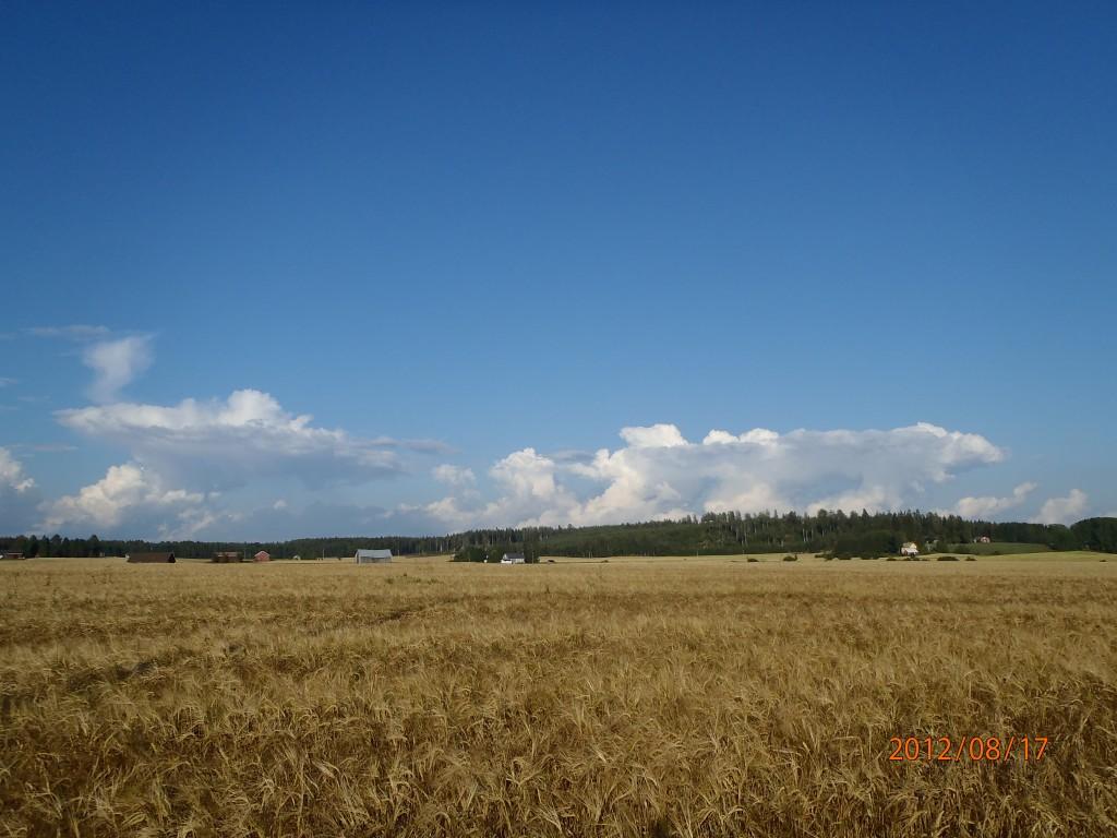 Lähes kuuropilviksi kasvaneita kumpupilviä. Ylempänä ilmakehässä kuitenki lämpimämpi kerros (inversio), joka tehnyt pilville yhtenäisen katon. (kuva P.Takala)