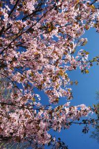 Kirsikkapuiden loistoa Roihuvuoressa (Kuva: Joanna Rinne)